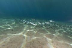 Fringelip梭鱼在红海的热带水域中。 库存照片