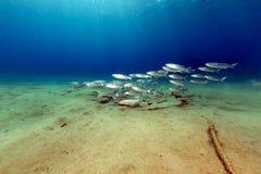 Fringelip梭鱼在红海的热带水域中 库存照片