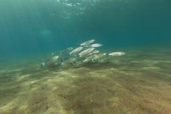 Fringelip梭鱼(crenimugil crenilabis)在红海。 免版税图库摄影