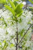 Fringetree blanc, virginicus de Chionanthus avec des fleurs photographie stock