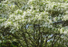 Fringetree blooming Royalty Free Stock Images