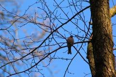 Fringilla coelebs στο δάσος Στοκ φωτογραφία με δικαίωμα ελεύθερης χρήσης