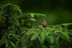 Fringilla coelebs Φωτογραφισμένος στη Δημοκρατία της Τσεχίας φωτεινό ανθίζοντας πράσινο δέντρο άνοιξη φύσης κλάδων Στοκ Φωτογραφίες