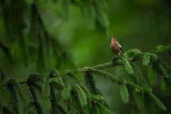 Fringilla coelebs Φωτογραφισμένος στη Δημοκρατία της Τσεχίας φωτεινό ανθίζοντας πράσινο δέντρο άνοιξη φύσης κλάδων Στοκ εικόνα με δικαίωμα ελεύθερης χρήσης