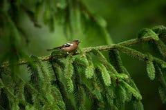 Fringilla coelebs Φωτογραφισμένος στη Δημοκρατία της Τσεχίας φωτεινό ανθίζοντας πράσινο δέντρο άνοιξη φύσης κλάδων Στοκ Εικόνα