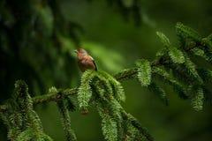 Fringilla coelebs Φωτογραφισμένος στη Δημοκρατία της Τσεχίας φωτεινό ανθίζοντας πράσινο δέντρο άνοιξη φύσης κλάδων Στοκ Εικόνες