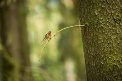 Fringilla coelebs Φωτογραφισμένος στη Δημοκρατία της Τσεχίας φωτεινό ανθίζοντας πράσινο δέντρο άνοιξη φύσης κλάδων Στοκ εικόνες με δικαίωμα ελεύθερης χρήσης