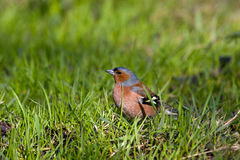 Fringilla coelebs, Chaffinch Royalty Free Stock Photos