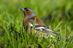 Fringilla coelebs, Chaffinch Stock Photography