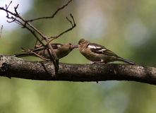 Fringilla coelebs, Chaffinch Stock Photo