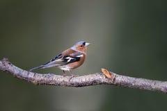 fringilla coelebs chaffinch Стоковые Фото