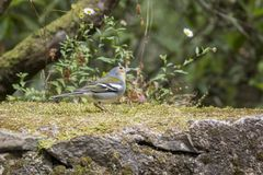 Fringilla coelebs maderensis mały zuchwały ptak, kolorowa madeiran zięba w suchym mech fotografia royalty free