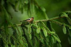 Fringilla coelebs. Photographed in the Czech Republic. Spring nature. From bird life. Bird on the tree. Green Tree. Beautiful picture. The wild nature of the stock image