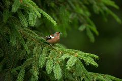Fringilla coelebs. Photographed in the Czech Republic. Spring nature. From bird life. Bird on the tree. Green Tree. Beautiful picture. The wild nature of the stock images