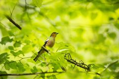 Fringilla coelebs. Photographed in the Czech Republic. Spring nature. From bird life. Bird on the tree. Green Tree. Beautiful picture. The wild nature of the stock photos