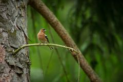 Fringilla coelebs. Photographed in the Czech Republic. Spring nature. From bird life. Bird on the tree. Green Tree. Beautiful picture. The wild nature of the royalty free stock photo
