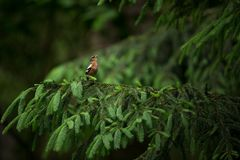 Fringilla coelebs. Photographed in the Czech Republic. Spring nature. From bird life. Bird on the tree. Green Tree. Beautiful picture. The wild nature of the stock photography