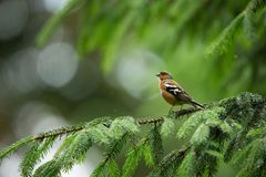 Fringilla coelebs. Photographed in the Czech Republic. Spring nature. From bird life. Bird on the tree. Green Tree. Beautiful picture. The wild nature of the royalty free stock photography