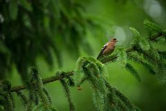 Fringilla coelebs. Photographed in the Czech Republic. Spring nature. From bird life. Bird on the tree. Green Tree. Beautiful picture. The wild nature of the royalty free stock images