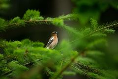 Fringilla coelebs. Photographed in the Czech Republic. Spring nature. From bird life. Bird on the tree. Green Tree. Beautiful picture. The wild nature of the stock photo