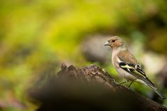 Fringilla coelebs. Wildlife of Finland. Expanded throughout Europe. Beautiful picture. Free nature. Scandinavia. A colorful picture of nature royalty free stock photo