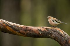 Fringilla coelebs. Wildlife of Finland. Expanded throughout Europe. Beautiful picture. Free nature. Scandinavia. A colorful picture of nature royalty free stock photos