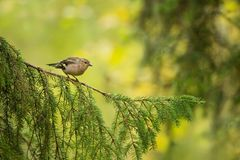 Fringilla coelebs. Wildlife of Finland. Expanded throughout Europe. Beautiful picture. Free nature. Scandinavia. A colorful picture of nature stock photo