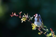 fringillidae carduelis goldfinch Στοκ φωτογραφίες με δικαίωμα ελεύθερης χρήσης