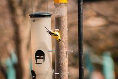 Fringillide americano dell'oro che mangia da un alimentatore un giorno di primavera immagini stock libere da diritti