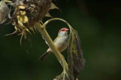 Fringillide appollaiato in albero Immagini Stock Libere da Diritti