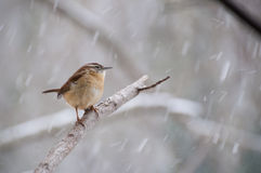 Fringillide appollaiato sul ramo in neve Fotografie Stock