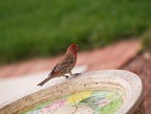 Fringillide che si siede su un Birdbath Fotografia Stock