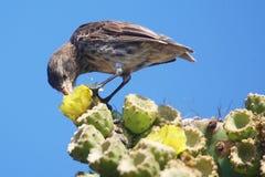 Fringillide del cactus che si alimenta nelle isole Galapagos Fotografia Stock