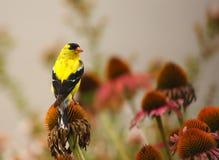 Fringillide dell'oro su fioritura immagini stock libere da diritti