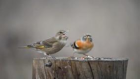 Fringillide europeo e brambling verdi che si siedono sull'alimentatore dell'uccello di inverno video d archivio