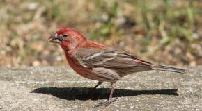 Fringillide intestato rosso maschio Fotografia Stock Libera da Diritti
