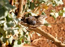 Fringillide sudafricano selvaggio Fotografie Stock Libere da Diritti
