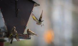 Fringillidi di Siskin del pino (pinus del carduelis) - in primavera che compete per lo spazio e l'alimento ad un alimentatore Immagine Stock Libera da Diritti