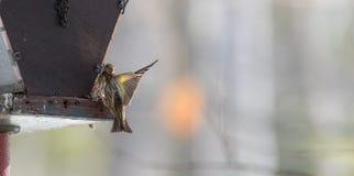Fringillidi di Siskin del pino (pinus del carduelis) - in primavera che compete per lo spazio e l'alimento ad un alimentatore Fotografia Stock