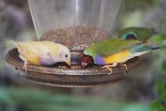 Fringillidi su un alimentatore dell'uccello immagini stock