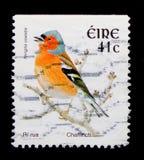 Fringuello (coelebs) del Fringilla, serie 2002-2004 di Definitives dell'uccello, circa 2002 Fotografia Stock Libera da Diritti