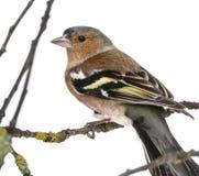 Fringuello comune del maschio su un ramo fotografie stock libere da diritti
