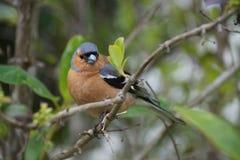 Fringuello, uccello dalla Nuova Zelanda Fotografia Stock Libera da Diritti