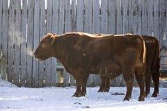 Frio do inverno do gado foto de stock