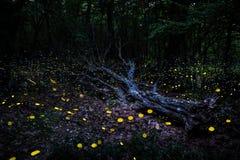 Frireflies flyg runt om ett stupat träd i skogen på skymning Arkivbilder