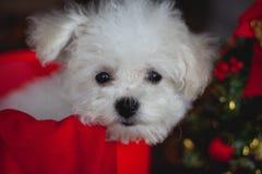 Frisé pequeno branco do bichon do cachorrinho imagens de stock