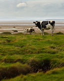 Frisões de Holstein no Solway fotos de stock royalty free