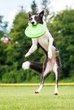 Frisbee собаки Коллиы границы заразительный в скачке Стоковые Изображения RF