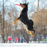 Frisbee Appenzeller Mountain dog with red flying disk. Frisbee dog with red flying disk Royalty Free Stock Photos