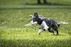 Frisbee border collie dog jumps with disk Stock Photography